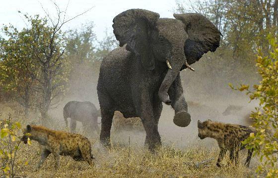 Слониха защищает слоненка от стаи гиен