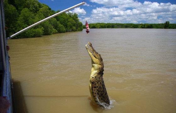 Крокодилы легко выпрыгивают из воды