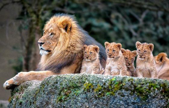 Львы - заботливые родители
