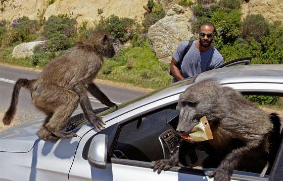 Даже небольшие обезьяны могут вести себя нагло