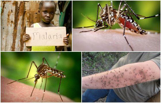 Москиты - переносчики лейшманиозов, бартонеллеза и малярии