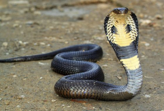 A cobra can kill an elephant with its bite.