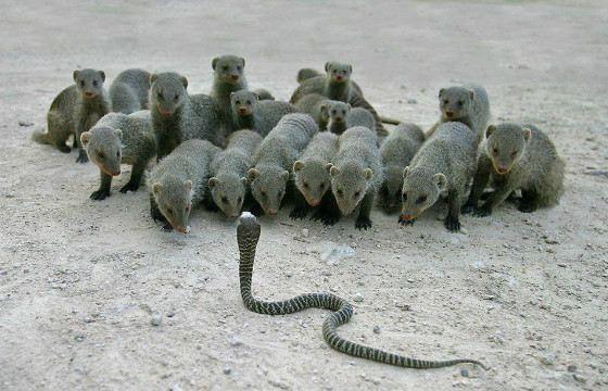 Кобре могут противостоять мангусты