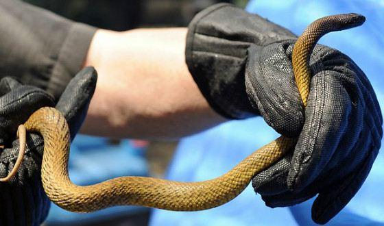 Тайпан Маккоя - самая ядовитая сухопутная змея