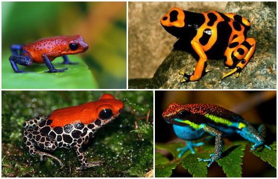 Poisonous decoration of the planet - tree frogs