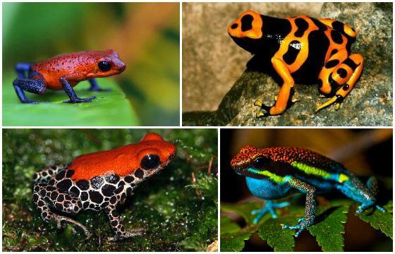Ядовитое украшение планеты - лягушки-древолазы