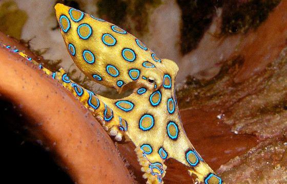 Deadly beautiful blue octopus