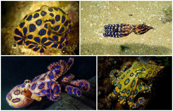 Потревоженный осьминог Hapalochlaena может напасть на человека