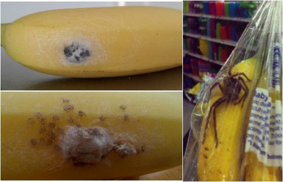 Brazilian spider can get to Russia with bananas