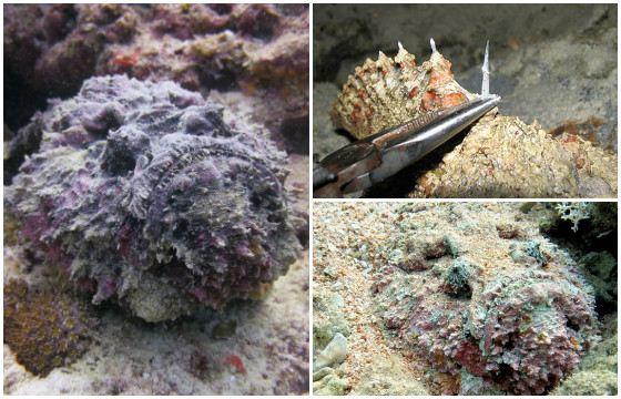 Рыба любит прятаться в ил, грунт и рифы