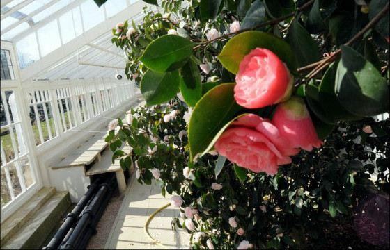 Уникальный цветок напоминает розу