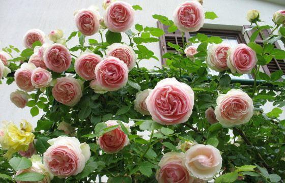 Розовый куст «Пьер де Ронсар» - удивительное зрелище