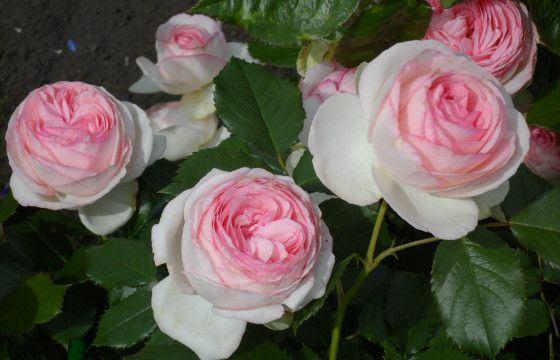 Розы сорта  «Пьер де Ронсар»